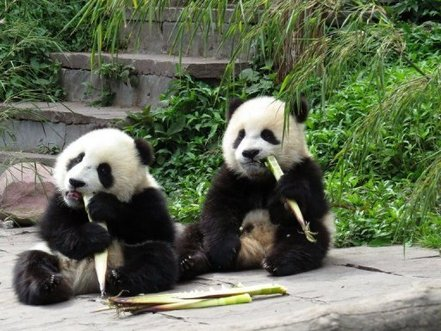 Giant Panda Channel Giant Pandas Eat Bamboo at The